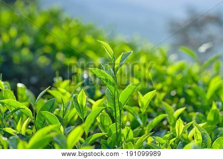 Green tea background - fresh leaves close up on blurred background at tea plantation in Munnar, Kerala, South India.