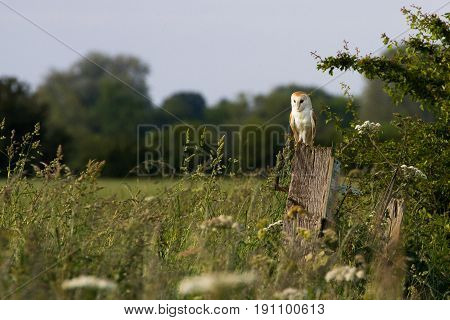Barn Owl (tyto Alba) Perched On Post In Rural Countryside