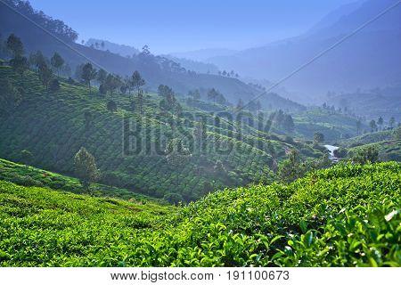 Tea Plantation In Kerala, South India