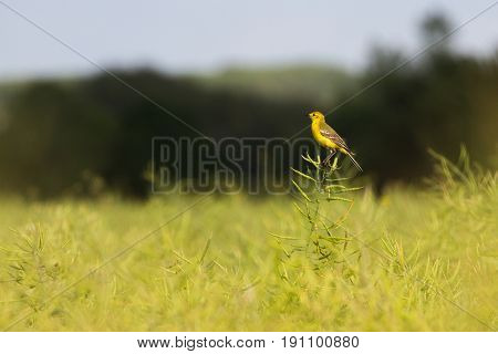 Beautiful Yellow Wagtail (motacilla Flava) Perched In Rapseed Field