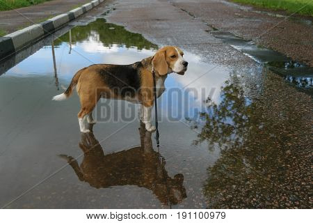 Dog Beagle in the middle of large puddles on the leash after a summer rain on the pavement