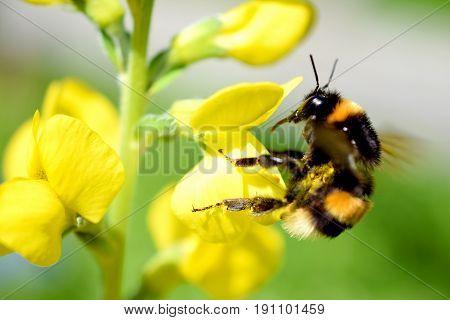 Flying Bumblebee landing to Lathyrus davidii yellow flower.