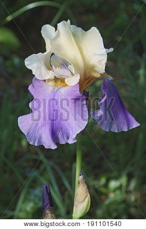 Panama Fling Tall Bearded iris (Iris x germanica Panama Fling)