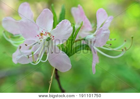 Beautiful flower of Rhododendron vaseyi, also known as pinkshell azalea. Focus on foreground, green bokeh background.