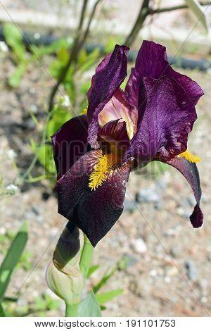 Purple flower of the Iris Barbata elatior, vertical image.