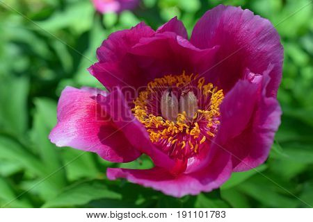Pink Peony flower with green background. Horizontal image