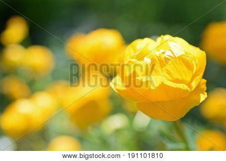 Trollius Orange Princess, yellow flower. Horizontal image