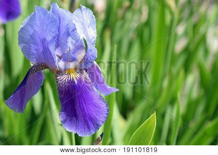 Beautiful blue and purple flower of Iris germanica, Kharput.