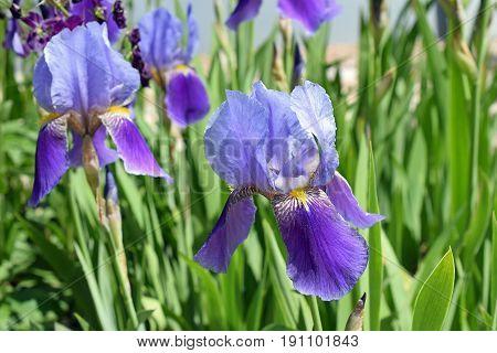 Beautiful blue, purple flowers of Iris germanica