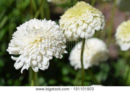 Anemone sylvestris plena, a beautiful white flower