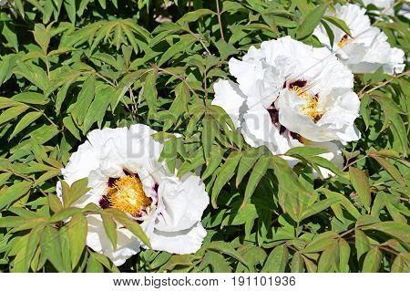 Flowering Paeonia rockii flowers and green leaves