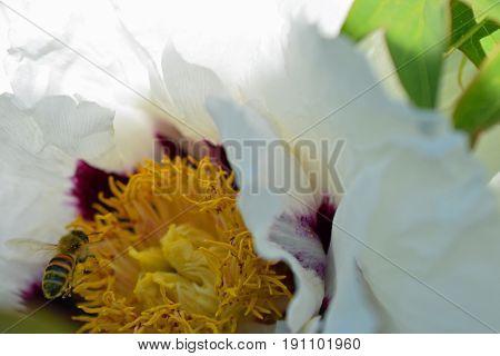 Flying honey bee and blooming Paeonia rockii flower