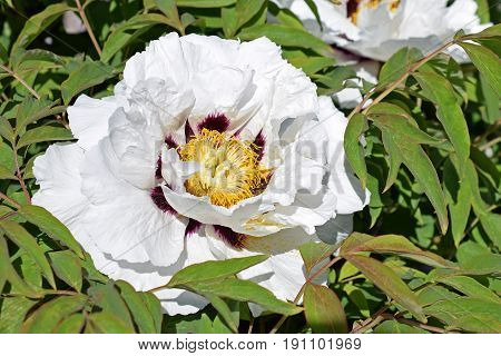 Beautiful flower of Paeonia rockii flower and green leaves on background.