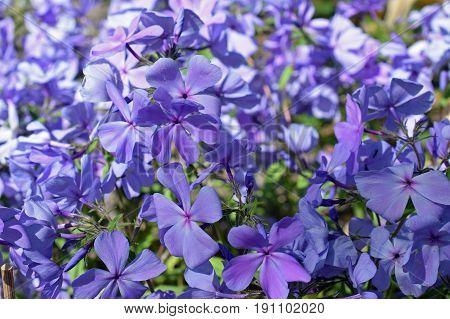 Phlox divaricata, also know as wild blue phlox or wild sweet william flowers.
