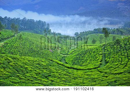 Tea Plantations In Munnar, Kerala, South India