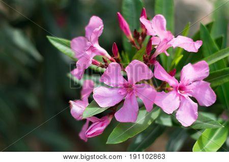Pink oleander flowers. Nerium oleander Apocynaceae. Close up.