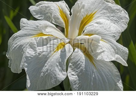 Freckled Geisha japanese flag iris (Iris ensata Freckled Geisha)