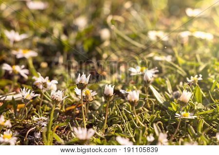 Summer Time Background With White Yellow Daisies On Green Field.