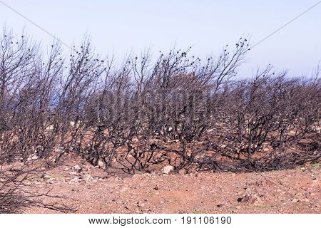 Burnt Pine Tree Trunks, Dead Land Background.