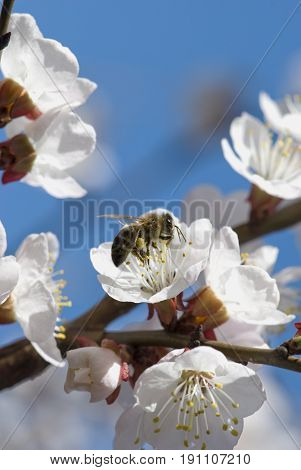 bee collects nectar from a white cherry blossom against the blue sky