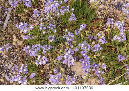 Purple sea lavender wild flowers background .