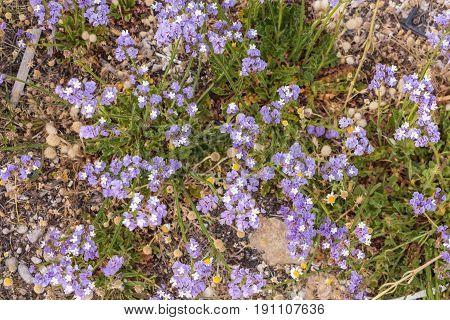 Purple sea lavender wild flowers background .