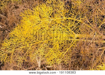 Wild yellow fennel leaves natural background/backdrop texture.