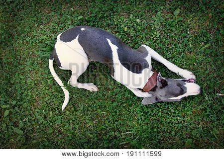 Dog Breeds Whippe On Summer Nature, Greyhound Hunting Dog. The D