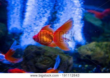 Tropical And Aquarium Goldfish In Blue Water. Beautiful Background Of The Underwater World