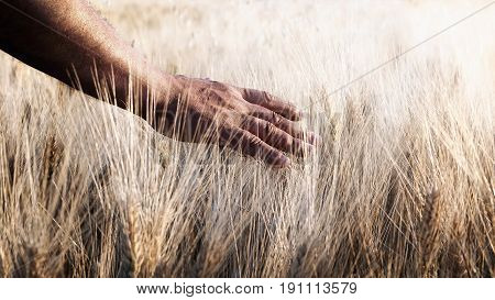 Field of wheat cultivated and one hand caresses the stems of wheat in backlight.