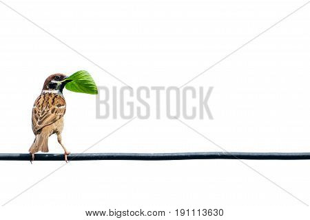 Eurasian tree sparrow bird on the wire with isolated white background