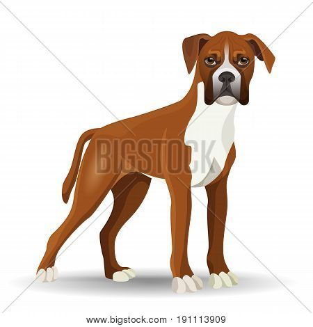 Boxer dog full length vector illustration isolated on white. Medium-sized, short-haired breed of canine with smooth and tight-fitting coat