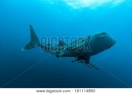 Whale Shark (rhincodon Typus) The Largest Fish In The Animal Kingdom