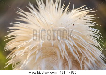 Close up image of egyptian vulture or Neophron percnopterus