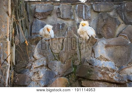 Two egyptian vulture or Neophron percnopterus sit on rock in zoo