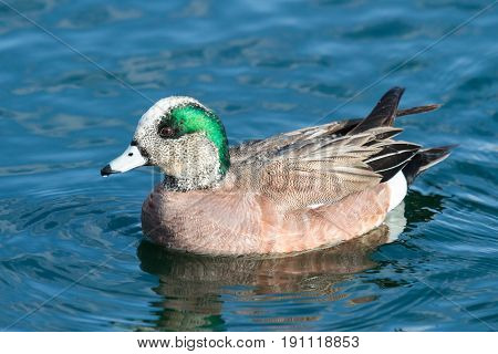 American Wigeon duck swimming in a clear lake.