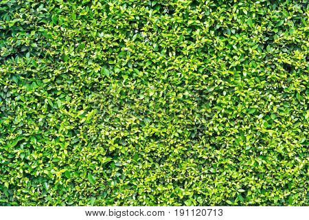 Pattern Texture Background of Tiny Small Green leaves Korean Banyan as Wall or Fence