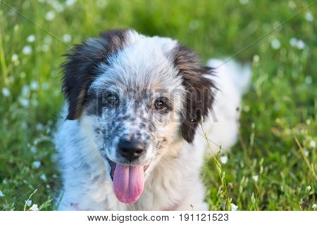 Cute white and black bulgarian sheep dog puppy with red tongue in the grass closeup portrait