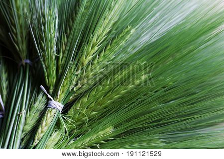 top view closeup of many fresh green wheat bunch bouquet bind with white thread copyspace available