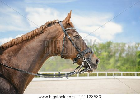 Portrait of a thoroughbred horse on blue sky background. Dressage with beautiful brown horse closeup, equestrian sport. Side view head shot of a beautiful chestnut brown stallion.