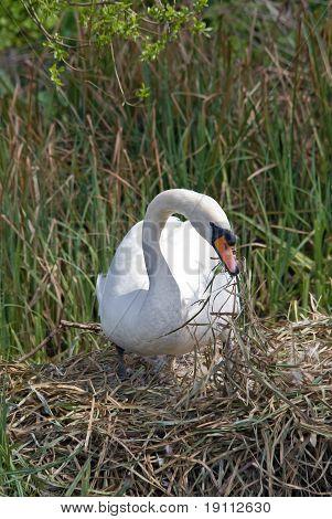 Mute Swan Building Nest