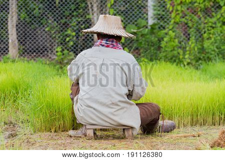 back of asian male farmer with Thai traditional hat working paddy cultivation in the rice field in the middle of the photo