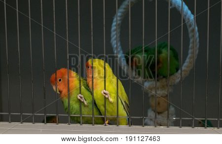 two green orange love birds sitting in the cage