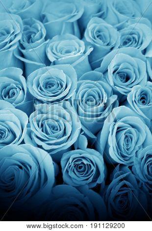 Beautiful Blue Roses