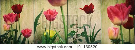 Panel with images of lower angle of tulip flowers against a wall
