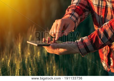 Agronomist using smart phone mobile app to analyze crop development female hands with mobile phone in cultivated wheat field