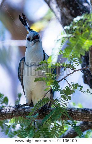 White-throated Magpie Jay (calocitta Formosa)