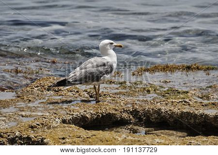 Audouin's gull sitting on a stone by the sea shore
