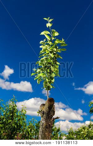 Revived apple tree on the sky background