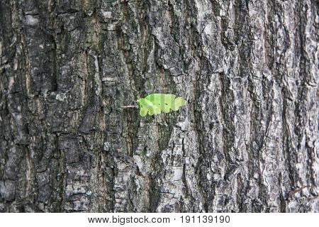 a small green leaf of oak on a grey background of tree bark